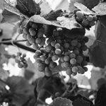 Vinicultura vino y la Vid