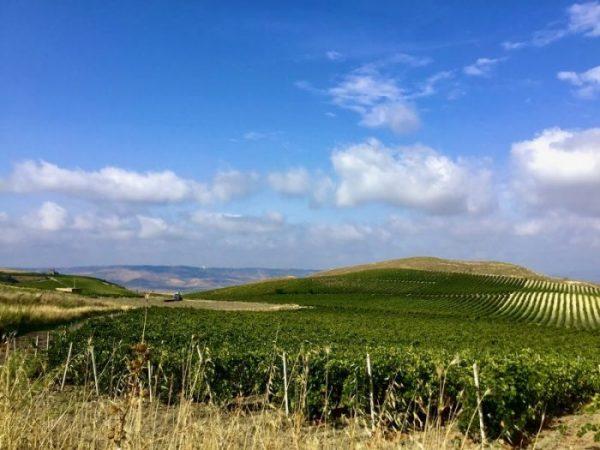 Fig. 4. Viñedos de la variedad tinta Nerello Mascalese en las montañas Sicanas, Contessa Entelina. en el occidente de Sicilia.