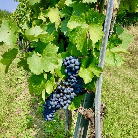 Figura 3. Racimo de la variedad Blauer Zweigelt también llamada Rotburger; el sistema de poda se llama Lenz Moser o cultivo elevado. Foto de uno de los viñedos de Weingut Loimer, Langenlois - Austria.